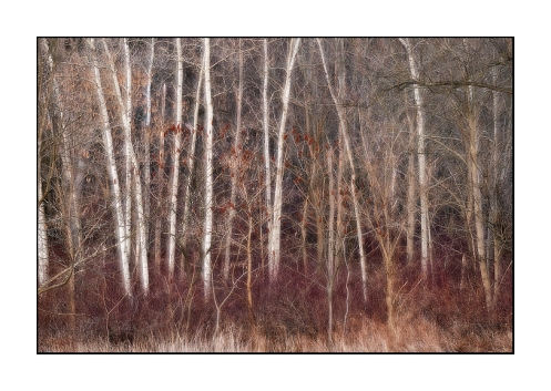 Birch Trees and Winter Woods