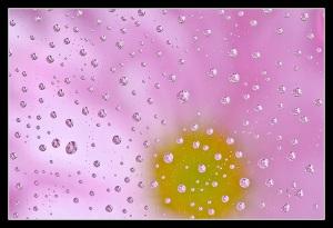 Rain Drops & Gerber Daisy
