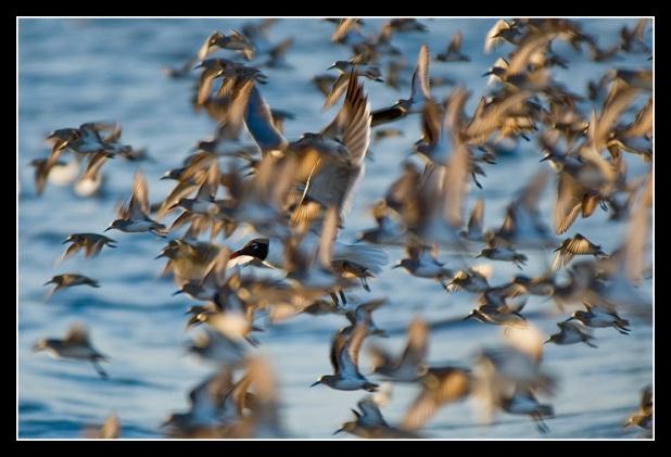 Sanderling Flight