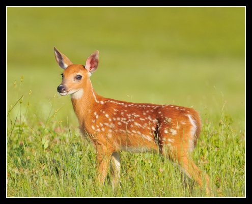 Whitetail Fawn in Big Meadows