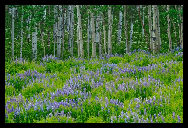 Lupine and Aspen