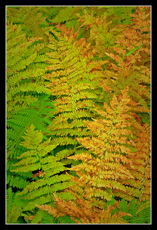 Fall Ferns