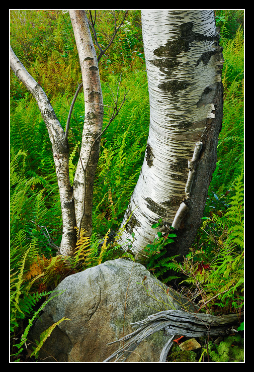 Aspen, Rock and Ferns